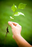 Environment. One hand holding a small plant of hibiscus Stock Photos