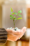 Environment. Two hands holding a small plant of hibiscus and pebbles Stock Images