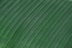 Environment concept, Banana leaf texture background. Stock Image