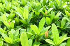 Green leaf for background. Royalty Free Stock Photos