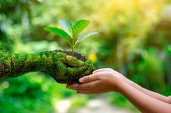 Environment Earth Day In the hands of trees growing seedlings. Bokeh green Background Female hand holding tree on nature field gra stock photography