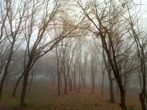 Environment. Foggy forest. Nature. Wonderful trees. This is a environment. This is a foggy forest. Autumn. This is a wonderful trees Royalty Free Stock Photo