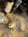 Environment: frog in polluted puddle Royalty Free Stock Image