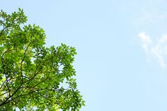 Environment. Green leaves and blue sky. Green leaves and blue sky, Branches and sky, Natural backgrounds stock photos