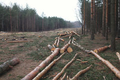 Environment, nature and deforestation forest - felling of trees. In wood royalty free stock photography