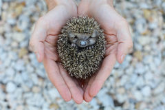 Environment protection: Little animal - hedgehog Stock Images