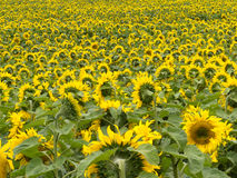Field of blooming yellow sunflowers to horizon Royalty Free Stock Photos