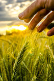 Environmental care. Closeup of male hand stroking ripening wheat field. Concept of environmental care Royalty Free Stock Images