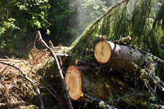 Environmental concept, illegal deforestation. Freshly cut pine tr Royalty Free Stock Image