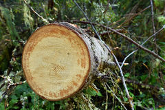 Environmental concept, illegal deforestation. Freshly cut pine tr Royalty Free Stock Photography