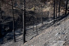 Environmental damage with burned trees after forest fire Royalty Free Stock Photo