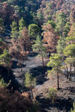 Environmental damage with burned trees after forest fire Royalty Free Stock Images