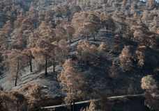 Environmental damage with burned trees after forest fire Royalty Free Stock Image