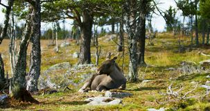 Environmental portrait of young moose calf rests on the forest floor stock footage