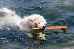 Environmental protection dog-samoyed Royalty Free Stock Images