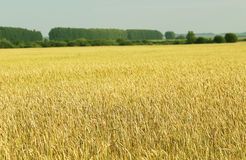 Environmental technologies in agriculture - natural products. Ears of corn, cereals - wheat, barley, rye or oats stock photo