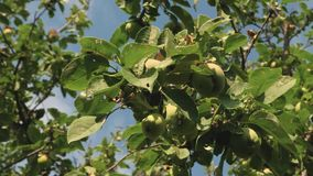 Environmentally friendly apples. Green apples on the tree. beautiful apples ripen on a branch in the rays of the sun. Environmentally friendly apples. Green stock video footage