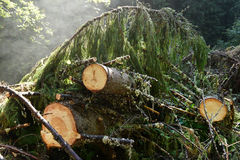 Environmetal concept, illegal deforestation. Freshly cut pine tr Stock Photography