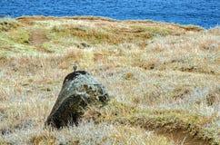 Environnement naturel de pipit du ` s de Berthelot Photo libre de droits