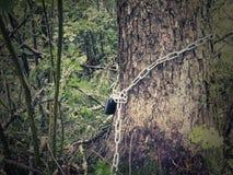 Envuelto alrededor de un tronco de árbol, la cadena es cerrada con un candado - el concepto de bosques de protección y de natur fotografía de archivo