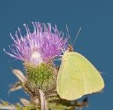 Enxôfre Cloudless que alimenta em uma flor do thistle fotos de stock