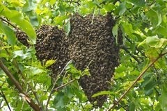 Enxame da abelha no ramo de árvore Fotos de Stock