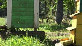 Enxame da mosca do inseto das abelhas à colmeia colorida na exploração agrícola do apicultor 4K filme