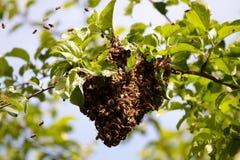 Enxame das abelhas Fotografia de Stock