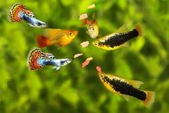 Enxame de alimentação peixes tetra do aquário que comem o alimento do floco fotografia de stock