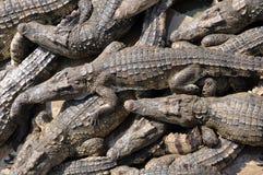 Enxame de crocodilos Siamese Foto de Stock