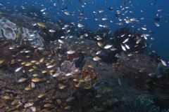 Enxame de peixes juvenis fora da ilha de Balicasag, Bohol Filipinas Imagem de Stock