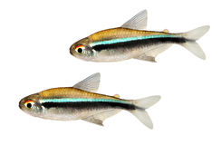 Enxame de peixes Tetra de néon pretos do aquário do herbertaxelrodi de Hyphessobrycon Imagens de Stock Royalty Free