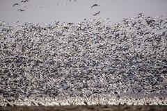 Enxame dos gansos fronteados brancos, voo, penas, asas, animais selvagens fotografia de stock