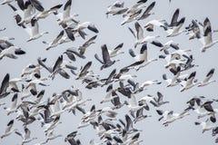 Enxame dos gansos fronteados brancos, voo, penas, asas, animais selvagens Imagens de Stock
