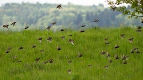 Enxame dos pássaros Fotos de Stock