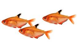 Enxame dos peixes Tetra do aquário dos eques do serape de Serpae Barb Hyphessobrycon isolados no branco imagem de stock