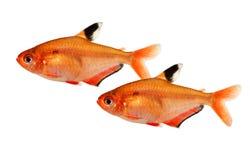 Enxame dos peixes Tetra do aquário dos eques do serape de Serpae Barb Hyphessobrycon isolados no branco fotos de stock