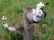 Enxerto bem sucedido no ramo de uma árvore de cereja Imagem de Stock Royalty Free