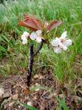 Enxerto bem sucedido no ramo de uma árvore de cereja Fotografia de Stock