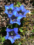 Enzian 3. A group of gentian Stock Photos