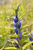 Enzian-asclepiadea (Weidenenzian) Stockbild