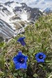 Enzian kwiaty Fotografia Stock