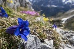 Enzian kwiaty Zdjęcia Royalty Free