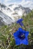 Enzian kwiaty Obrazy Royalty Free