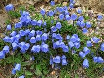 Enzianblumen auf alpinem felsigem Boden Stockfotografie