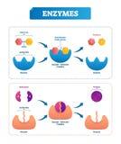 Enzym vectorillustratie Geëtiketteerd cyclus en diagram met katalysators vector illustratie