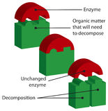 Enzymes. Mode of action of the enzymes Stock Image