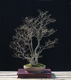 Eonymus bonsai in spring Stock Images