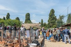 Eople looking for Group of chicken hen to buy. Unidentified people looking for Group of chicken hen to buy at chicken bazaar in Istanbul,Turkey.15 October,2017 stock images
