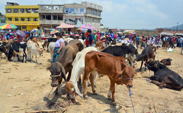 Eople sale young bulls and veals. QUETZALTENANGO GUATEMALA APRIL 28 2016 : People sale young bulls and veals Quetzaltenango maket. This native market is the most royalty free stock photography
